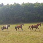 des chevaux de propriétaire